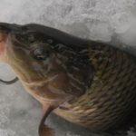 Ловля карпа зимой: на что ловить, места ловли
