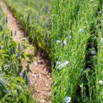 Что полезнее —семена чиа или семена льна? Сравнение состава и эффекта